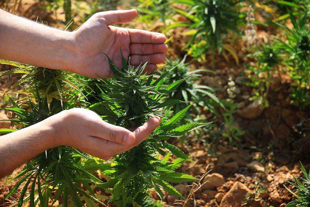 Common Growing Marijuana Mistakes to Avoid