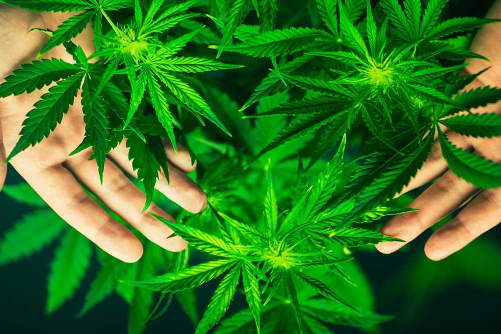 Best Marijuana Plants