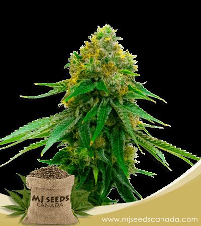 5 Alive Feminized Marijuana Seeds