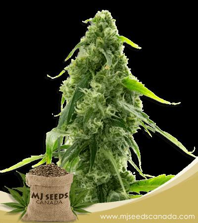 AK 47 Autoflowering Marijuana Seeds