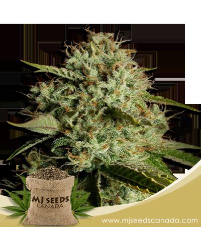 Agent Orange Marijuana Seeds Regular