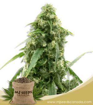 Alien Gorilla Glue Feminized Marijuana Seeds