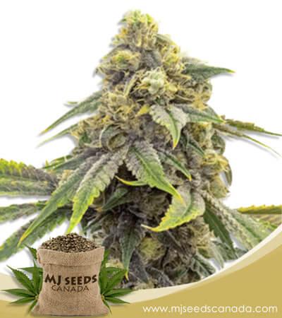 Alien OG Feminized Marijuana Seeds