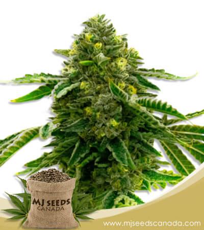 Alien Technology Feminized Marijuana Seeds