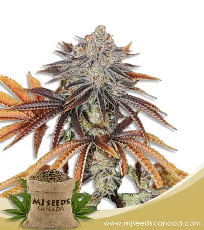 Alien Technology Marijuana Seeds Regular