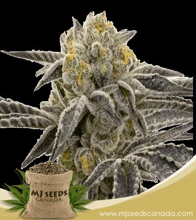 Amnesia Blue Head Band Feminized Marijuana Seeds