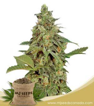 Amnesia Lemon Marijuana Seeds Regular