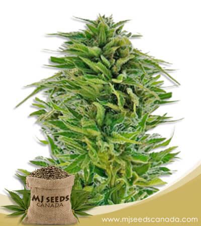 Amnesia Lemon Feminized Marijuana Seeds