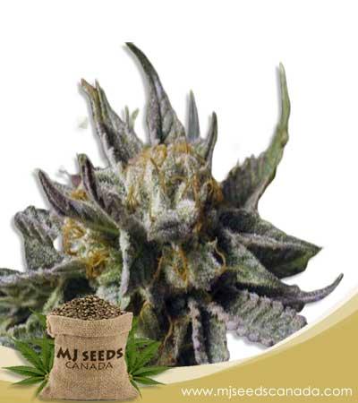 BC God Bud Marijuana Seeds Regular