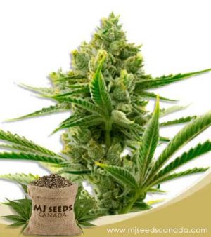 Badazz Cheese Feminized Marijuana Seeds