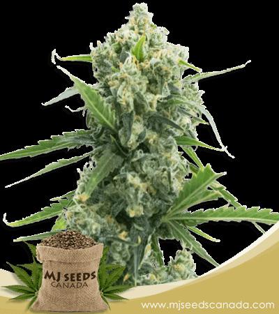 Banana Kush Autoflowering Marijuana Seeds