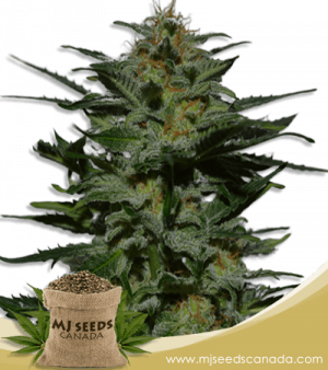 Blackberry Autoflowering Marijuana Seeds