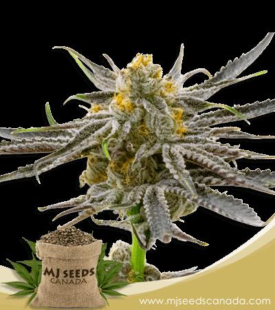 Blood Diamond OG Feminized Marijuana Seeds