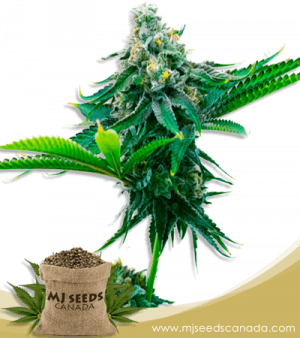Blue Amnesia Autoflowering Marijuana Seeds