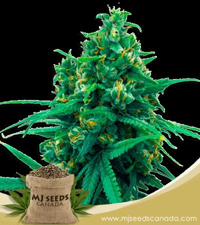 Blue Cheese Autoflowering Marijuana Seeds