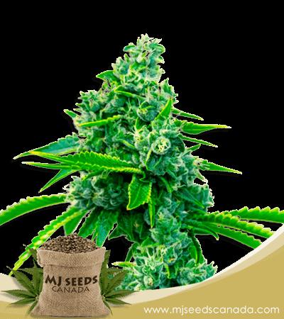 Blue Dream Feminized Marijuana Seeds