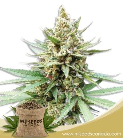 Blue OG Feminized Marijuana Seeds