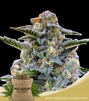 Bruce Banner Marijuana Seeds Regular