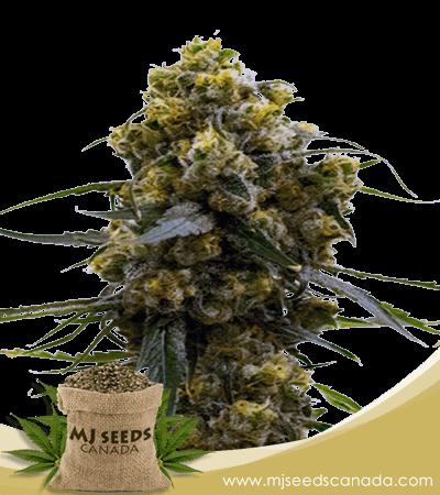 Bruce Banner Feminized Marijuana Seeds