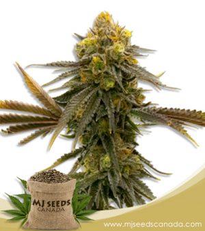 ACDC High CBD Marijuana Seeds