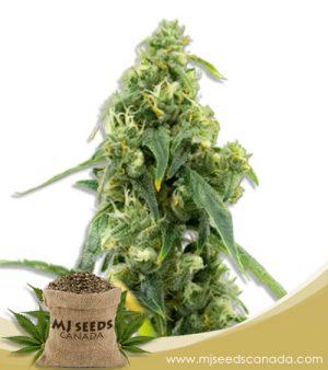 Black Diesel High CBD Marijuana Seeds