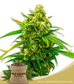 Critical Mass High CBD Marijuana Seeds