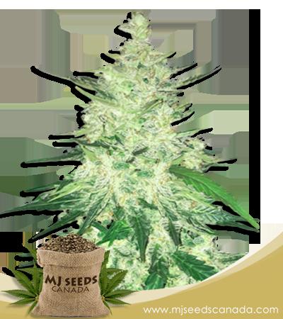 Diesel High CBD Marijuana Seeds