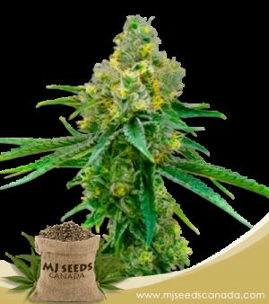 Harlequin High CBD Seeds