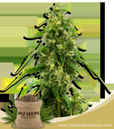 Harlequin Kimbo Kush High CBD Seeds