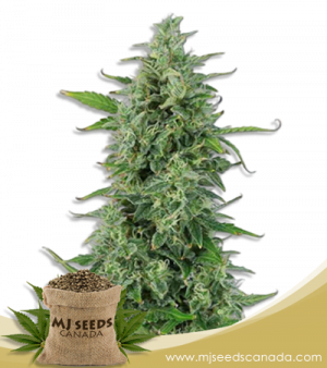 OG Kush High CBD Marijuana Seeds