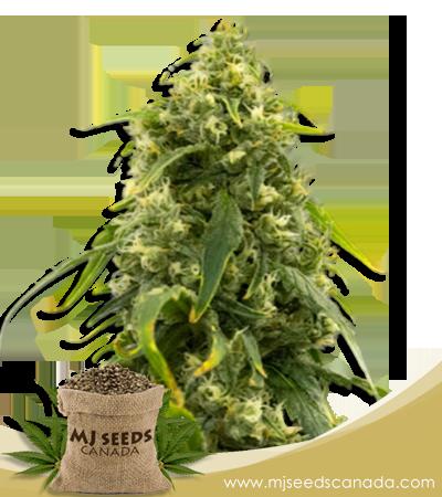 Sour Tangie High CBD Seeds