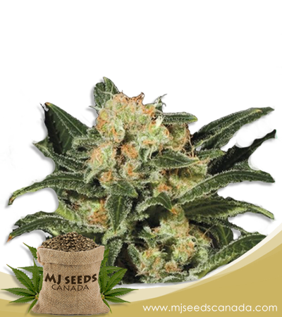 Candy Punch Marijuana Seeds Regular