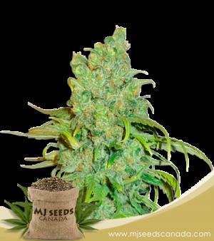 Chocolope Marijuana Seeds Regular