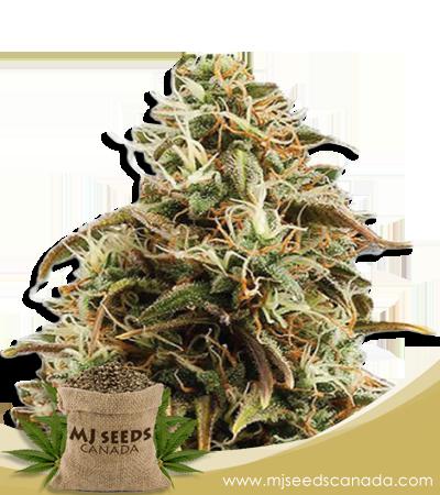 Chocolope Candy Marijuana Seeds Regular