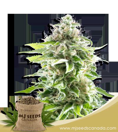 Cookies High CBD Marijuana Seeds