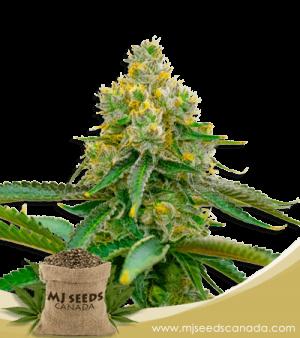 Critical 47 Feminized Marijuana Seeds