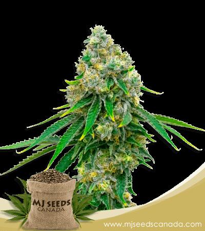 Critical Mass Feminized Marijuana Seeds