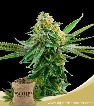 Critical Northern Lights Feminized Marijuana Seeds