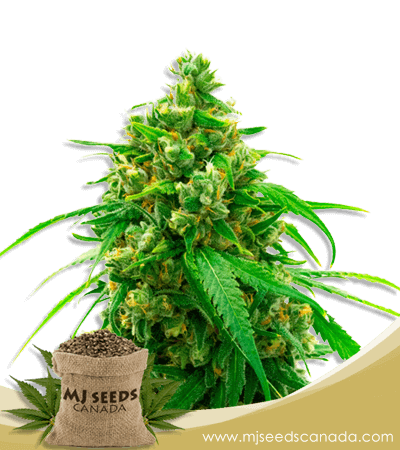 Diesel Autoflower Marijuana Seeds