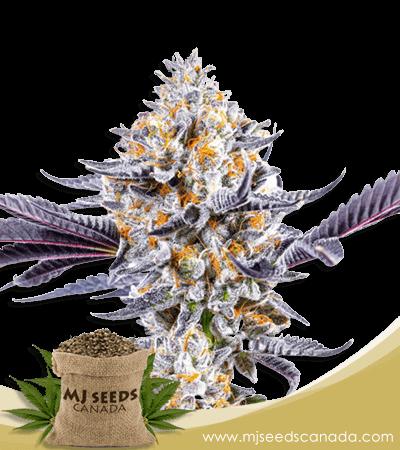 Do-si-Dos Marijuana Seeds strain