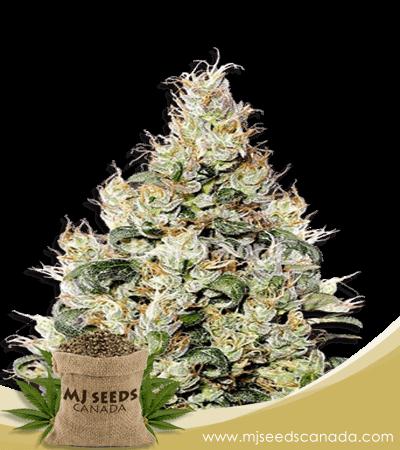 Exodus Cheese Marijuana Seeds strain
