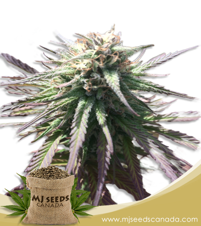 Gelato Marijuana Seeds Regular