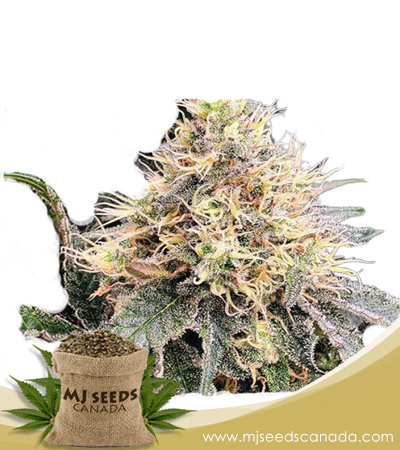 God Bud Marijuana Seeds Regular