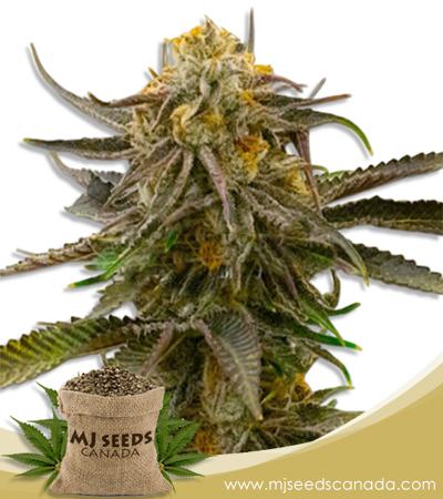Grandaddy Bruce Feminized Marijuana Seeds