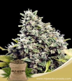 Grapefruit Marijuana Seeds Regular