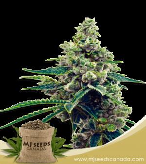 Grapefruit Autoflower Marijuana Seeds