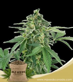 Haze High CBD Marijuana Seeds