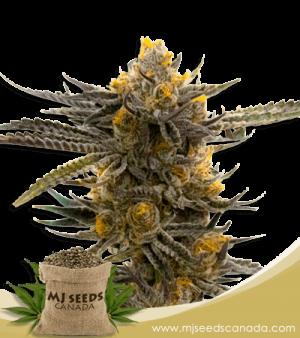 Haze XL Autoflower Marijuana Seeds