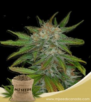 Jelly Bean Marijuana Seeds Regular