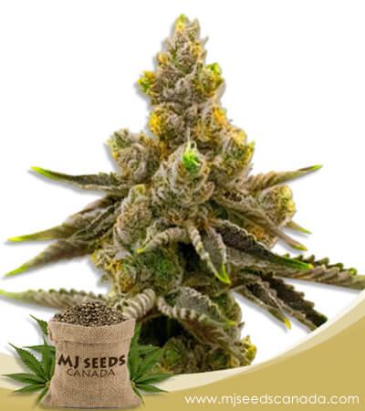 Kalimist Marijuana Feminized Seeds